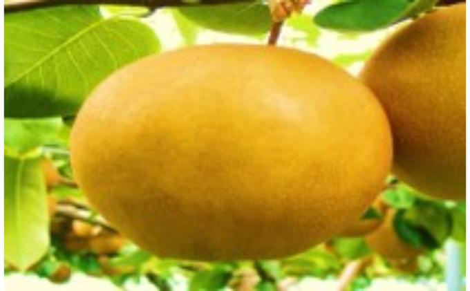 【2021年栃木県鹿沼産】大玉な梨(にっこ