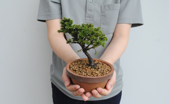 植木のまちより、手軽にミニ盆栽はじめませんか?蝦夷松(エゾマツ)