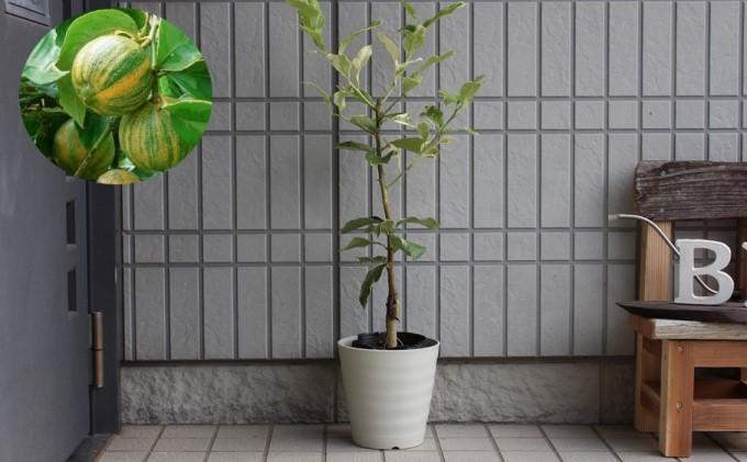【2022年3月発送開始】斑入り レモンの木 ピンクレモネード 鉢植え