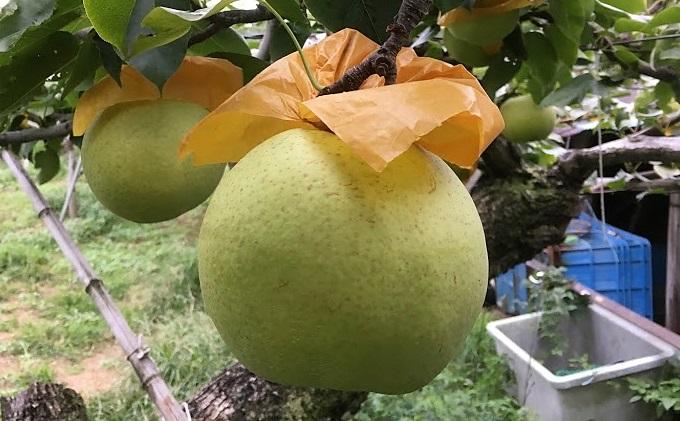 しろいの梨 かおり 5kg