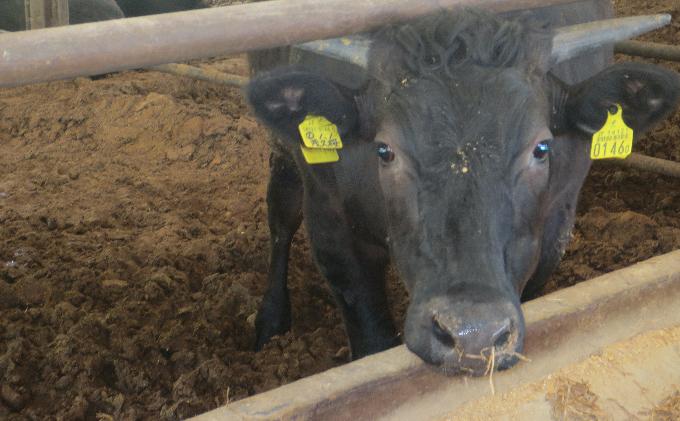 岡山県高梁市のふるさと納税 [農林水産大臣賞受賞]備中牛 和牛ロースステーキ 1kg