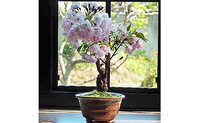 【季節限定】桜盆栽(出荷時期1月7日~4月30日)