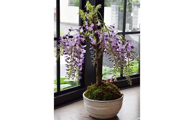 【季節限定】藤盆栽(出荷時期1月7日~4月30日)