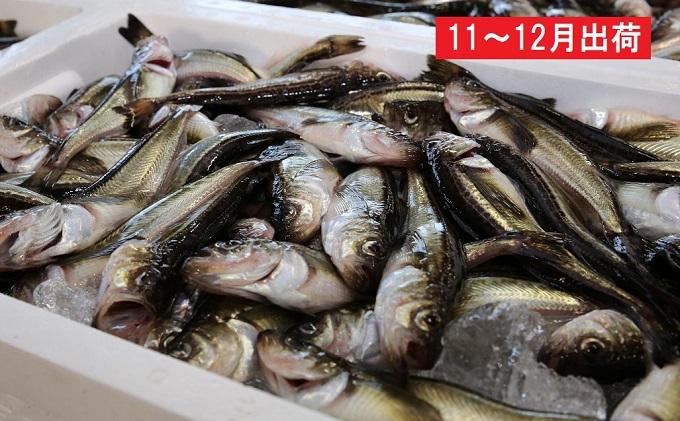 11~12月 日本海の天然ハタハタ(大)