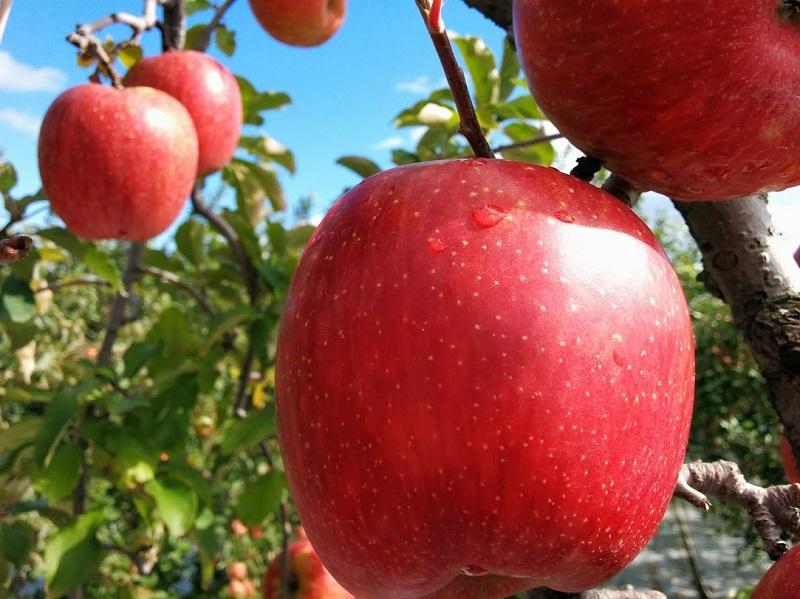 旬のおすすめ林檎 約3kg×1箱(目安:7~9玉)【結城果樹園】