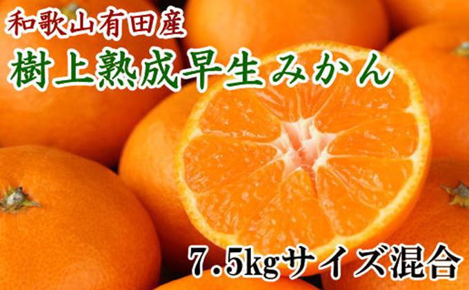紀州有田産早生みかんの樹上熟成みかん 約7.5kg(サイズ混合・秀品)