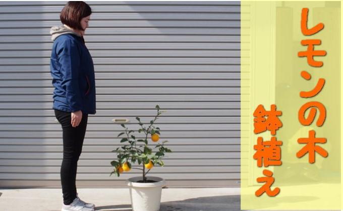 レモンの木鉢植え(白プラ鉢31cm)