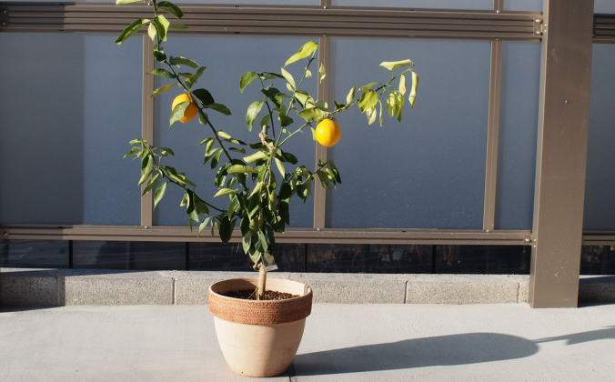 レモンの木鉢植え(大きめサイズ)テラコッタ鉢