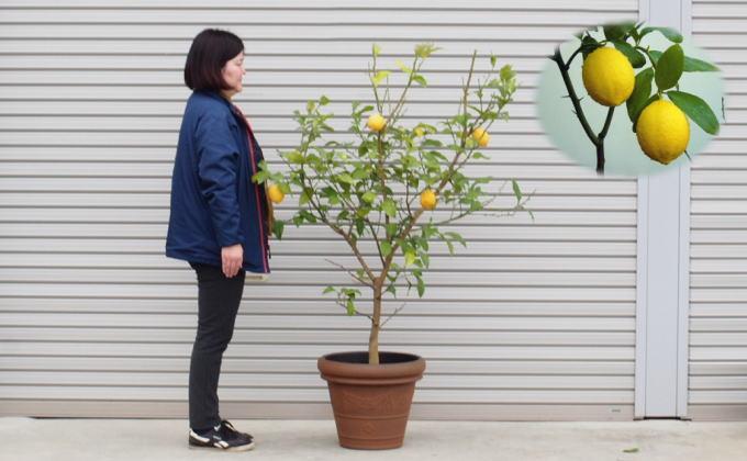 特大サイズ レモンの木鉢植え(ブラウン鉢)1個