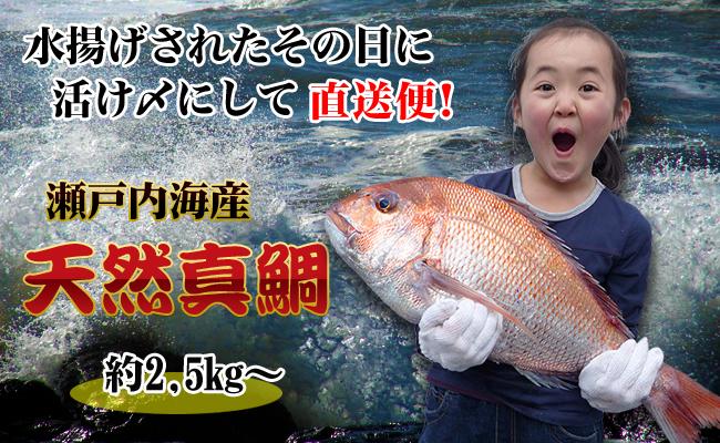 【朝獲れ直送便】瀬戸内海産の天然鯛を丸ごと1匹 キングサイズ