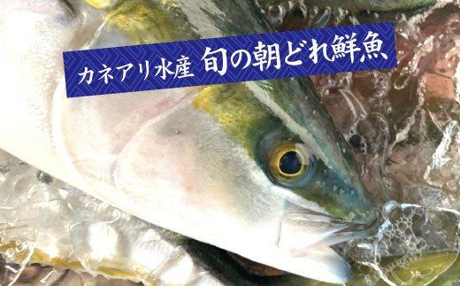 高知県田野町のふるさと納税 【四国一小さなまちの鮮魚】~海の幸~  旬の朝どれ鮮魚セット カネアリ水産の鮮魚定期便3ヶ月