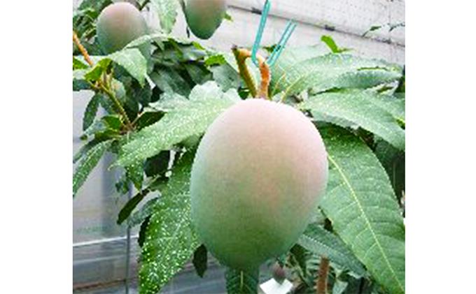 【先行予約受付中】藤枝産マンゴーキーツ 7~8月出荷