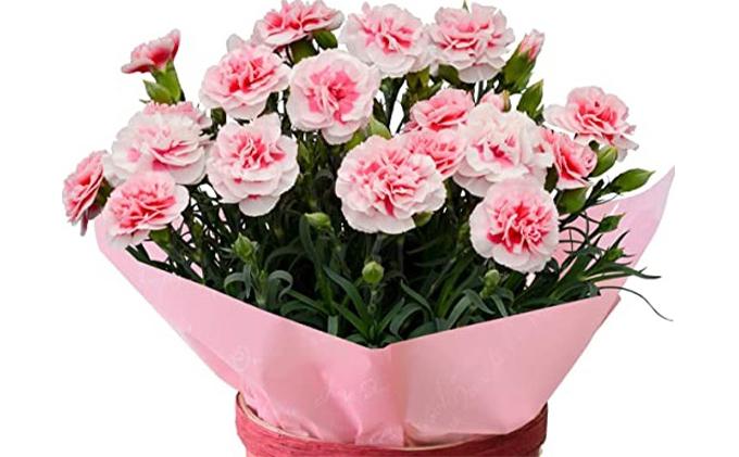 【オンライン決済限定】母の日に!カーネーション鉢植え「さくらフロマージュ」5号カゴ入