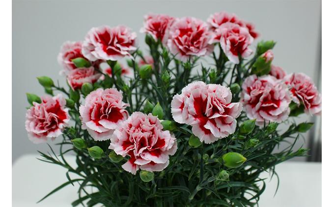 【オンライン決済限定】母の日に!カーネーション鉢植え「いちごホイップ」5号カゴ入