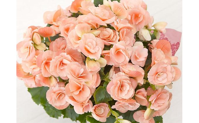 【オンライン決済限定】母の日に!リーガースベゴニア鉢植え「ビノスソフトピンク」5号