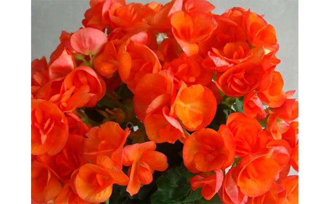 【オンライン決済限定】母の日に!リーガースベゴニア鉢植え「バラ咲オレンジストーン」5号