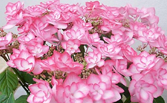 【オンライン決済限定】母の日に!アジサイ鉢植えピンキーリング5号