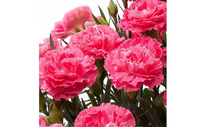【オンライン決済限定】母の日に!カーネーション鉢植え ピンク クレア5号