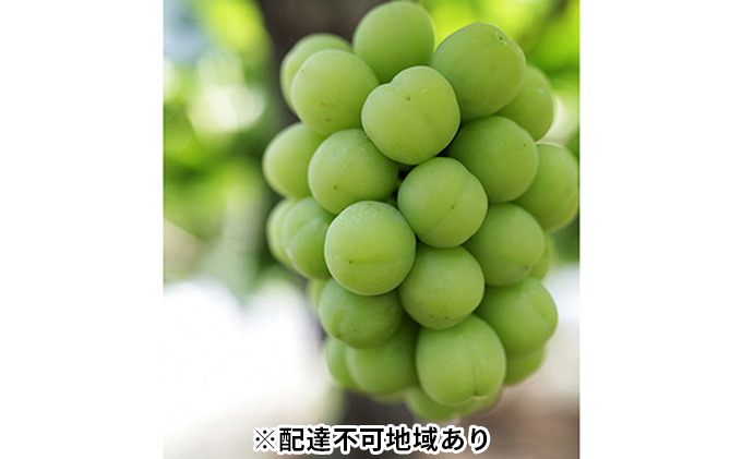 モリ旬 岡山県産 桃太郎ぶどう 約700g×1房