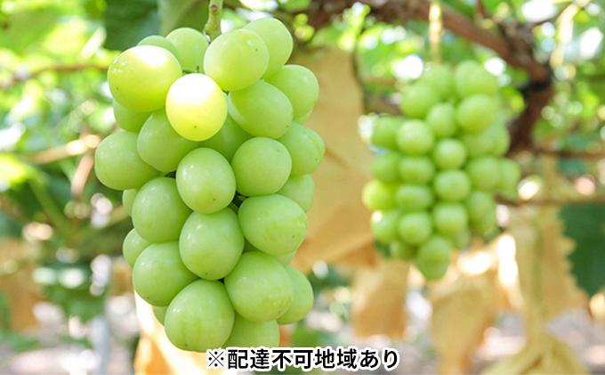 モリ旬 岡山県産 シャインマスカット 晴王