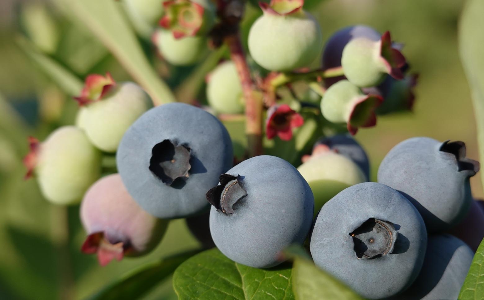 【移住から農業へ】生のブルーベリーをお届けします1kg(北海道仁木町産)