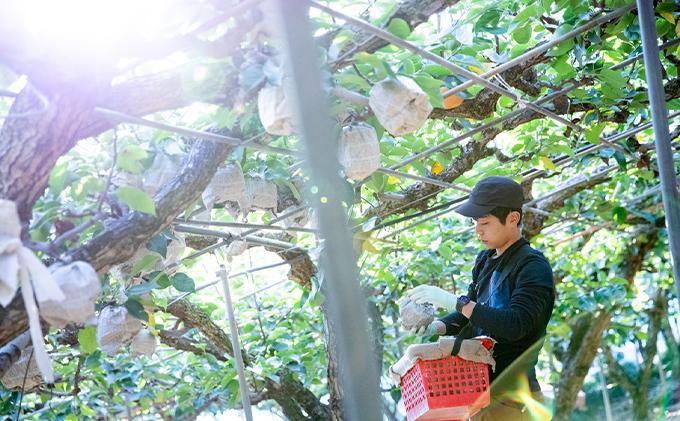 岡山県浅口市のふるさと納税 石原果樹園 あたご梨 約800g×2玉 オリジナル化粧箱