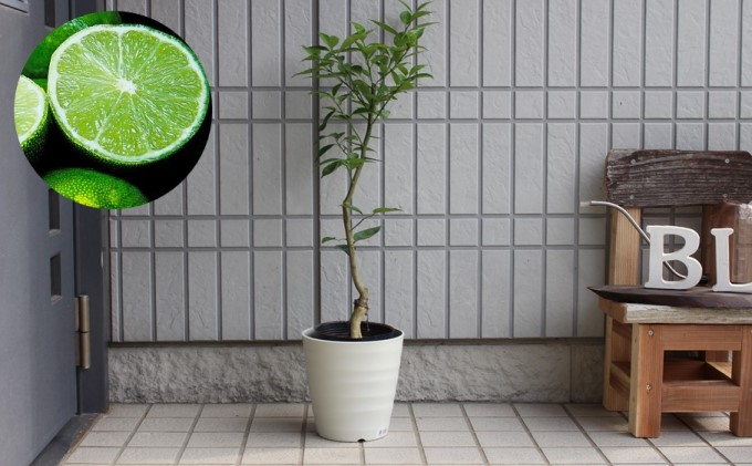 種なし スダチ 6号 鉢植え