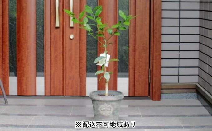 レモンの木鉢植え(アンティーク風鉢・27cm)※配送不可:北海道・沖縄・離島